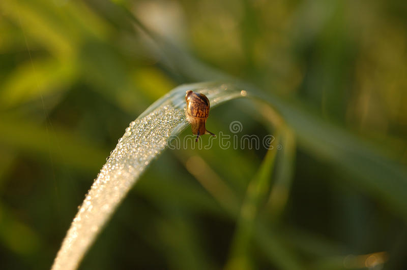 L'escargot rampe sur une herbe image stock