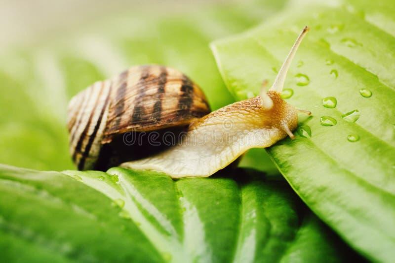 L'escargot s'élève d'une feuille à une feuille images libres de droits