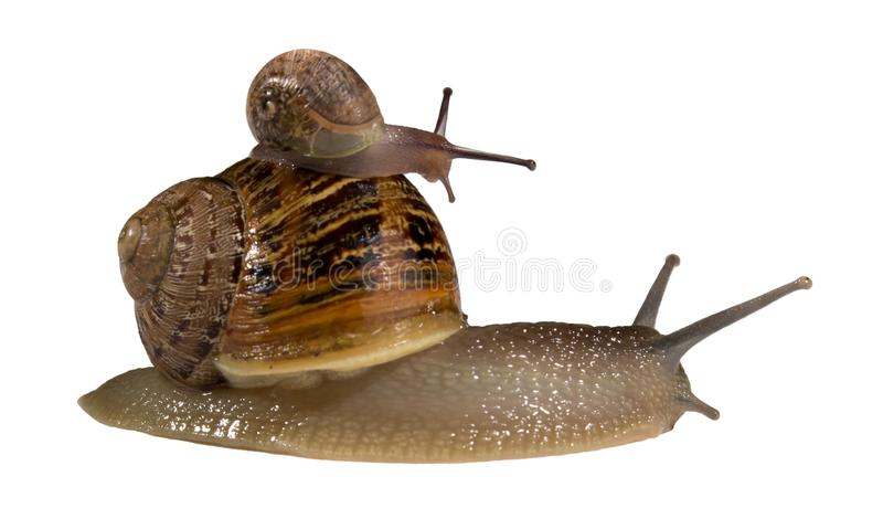 Download L'escargot Soutiennent Dessus D'un Plus Grand Escargot Photo stock - Image du closeup, instruction: 56482542