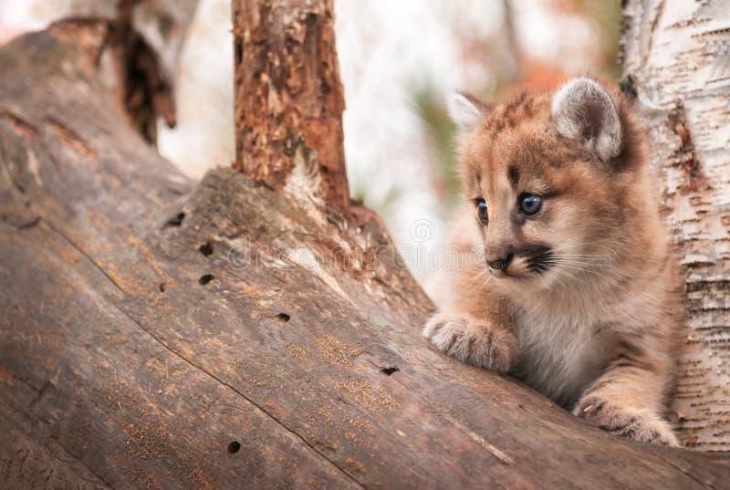 L'espace femelle de copie de chaton de puma (concolor de puma) est parti photographie stock libre de droits