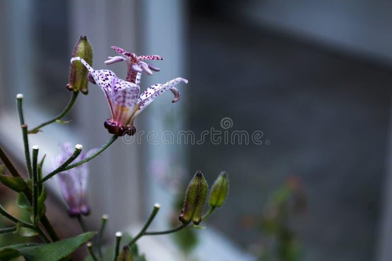 L'espace japonais de vue de côté de hirta de Tricyrtis de lis de crapaud pour le texte photographie stock