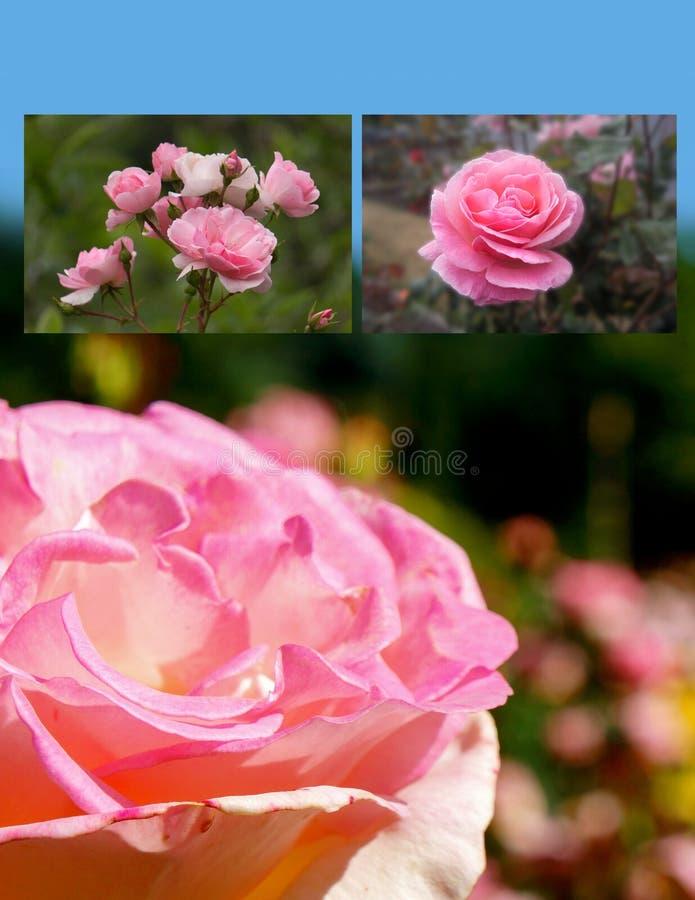 L'espace vertical de copie de roses de jardin de collage photo stock