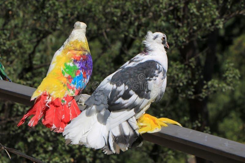 l'espagne catalonia Barcelone Beaux pigeons colorés en parc photos libres de droits