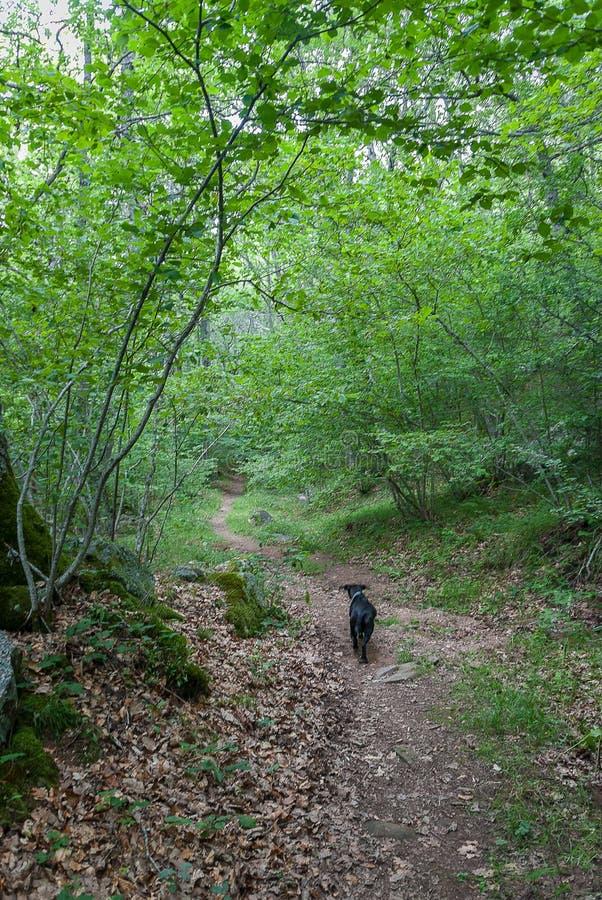 l'espagne Chien sur le sentier de randonnée de la La Pedrosa en montagne de Palencia Palencia images stock