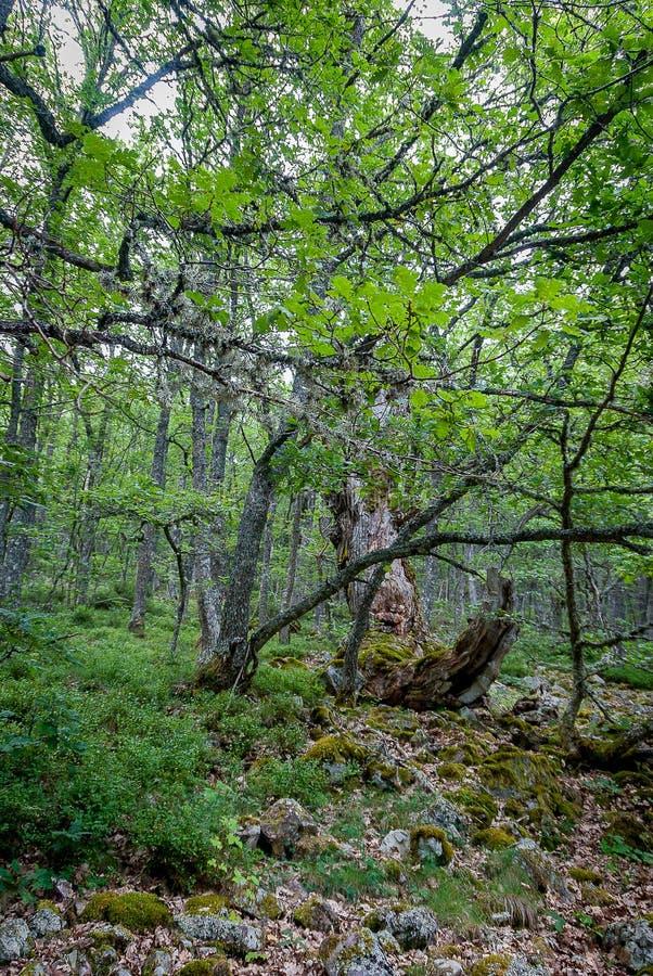 l'espagne Forêt de Herreruela de Castilleria Palencia photo stock
