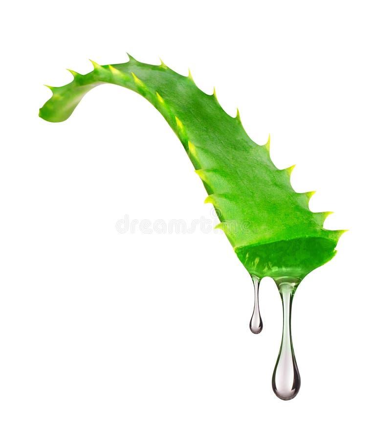 L'essence de l'usine de Vera d'aloès s'égoutte des feuilles sur le blanc photo stock
