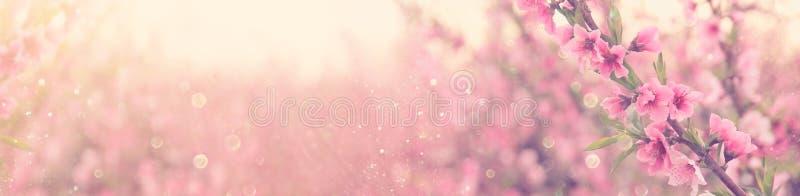 l'estratto ed il fondo vago dell'insegna della molla sboccia albero con i fiori rosa Fuoco selettivo sovrapposizione di scintilli fotografie stock