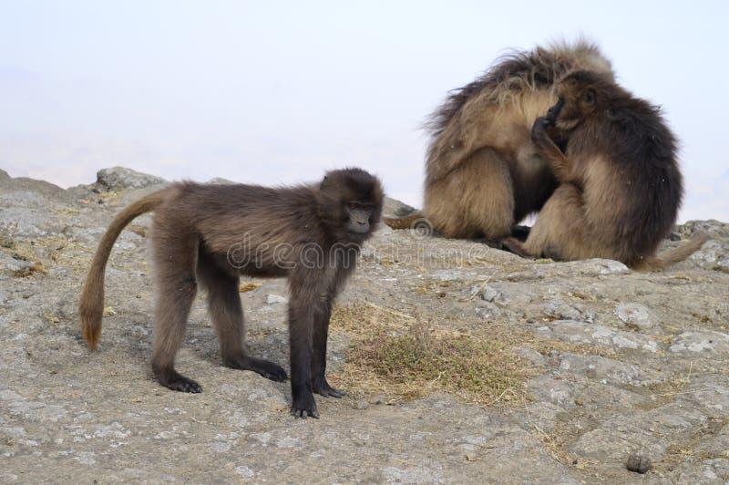 l'ethiopie Gelada est des espèces rares de primat photo stock