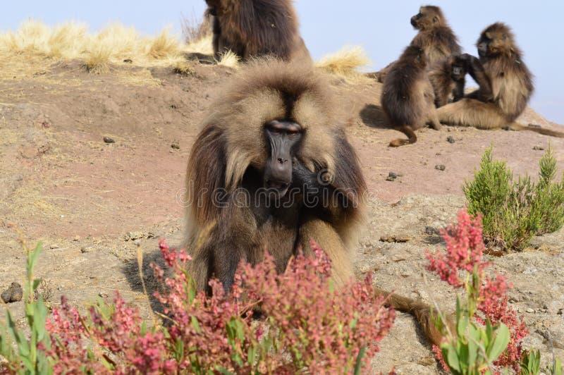 l'ethiopie Gelada est des espèces rares de primat photo libre de droits