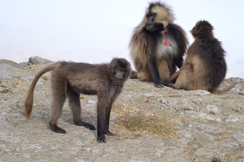 l'ethiopie Gelada est des espèces rares de primat photos stock