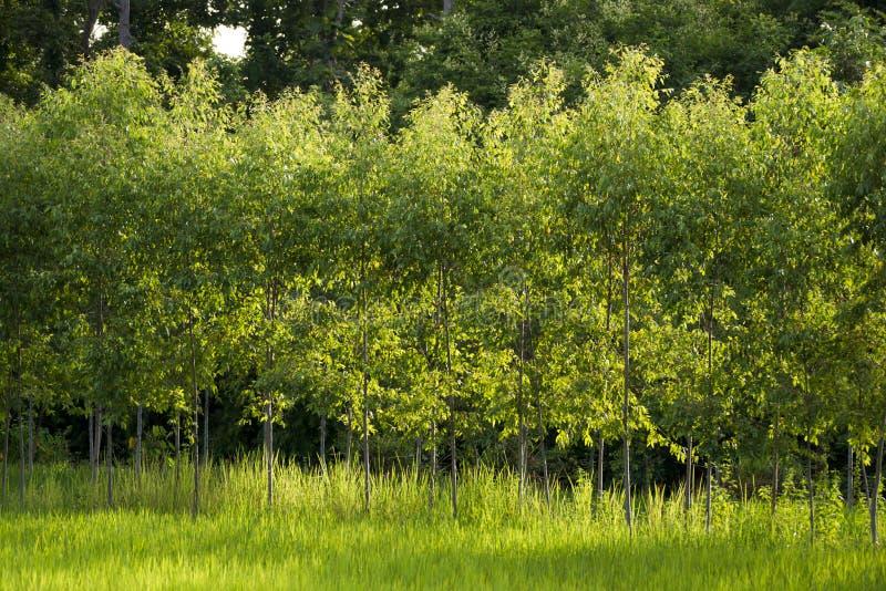 L'eucalyptus fotografie stock