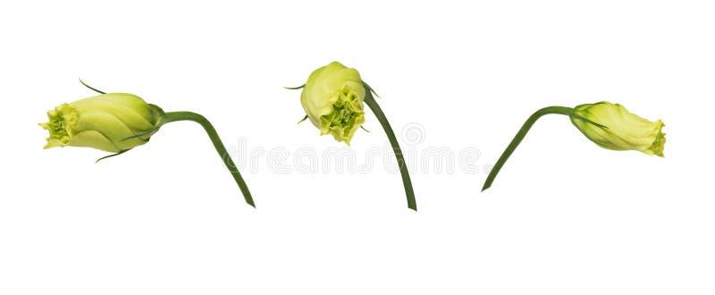 L'eustoma giallo chiuso germoglia la genziana di prateria isolata su fondo bianco Insieme delle immagini immagini stock libere da diritti