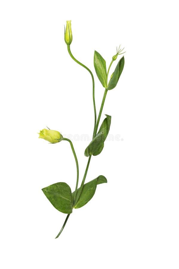 L'eustoma jaune fleurit la gentiane de prairie d'isolement sur le fond blanc image libre de droits