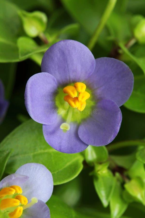 L'Exacum tendre de fleur affinent dans la fleur image stock