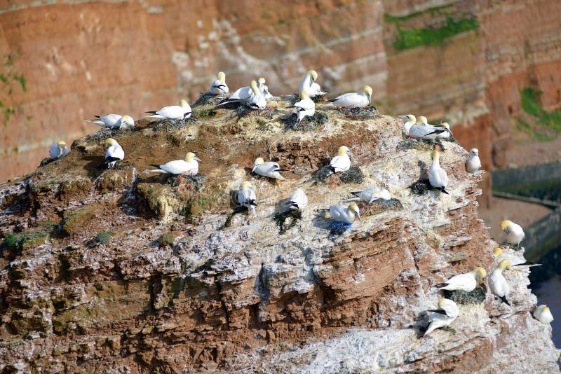 Download Lęgowi Ptaki W Falezach Helgoland Obraz Stock - Obraz złożonej z wyspa, gniazdeczko: 57650205