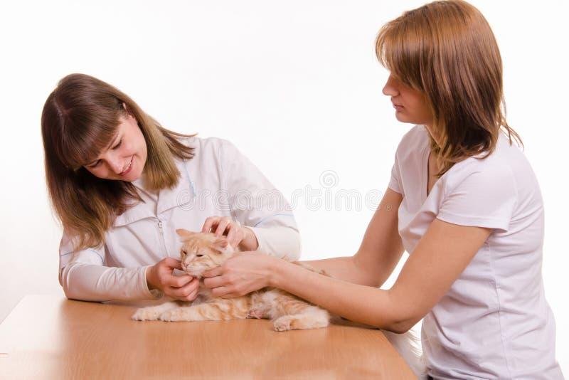 L'hôtesse a apporté le chat au rendez-vous de vétérinaire photos libres de droits