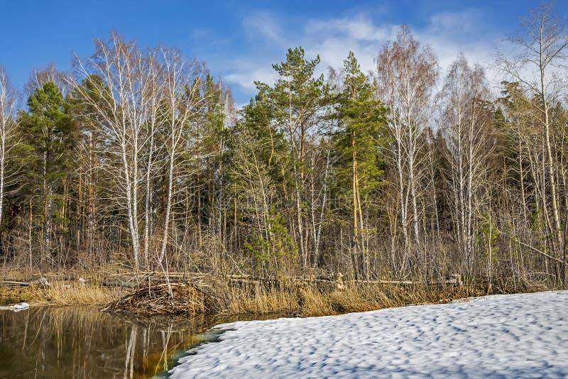 L'habitat des castors Hutte et arbres tombés sur le lac dans photos libres de droits