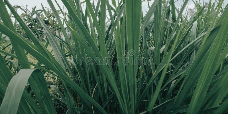 L'herbe avec les feuilles vertes, est très fraîche naturellement photographie stock libre de droits