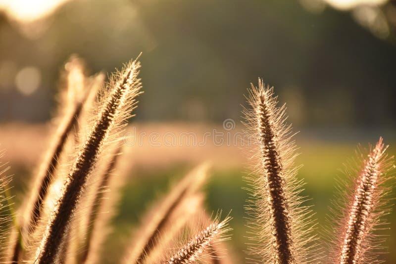 L'herbe communiste fleurit au soleil photos stock