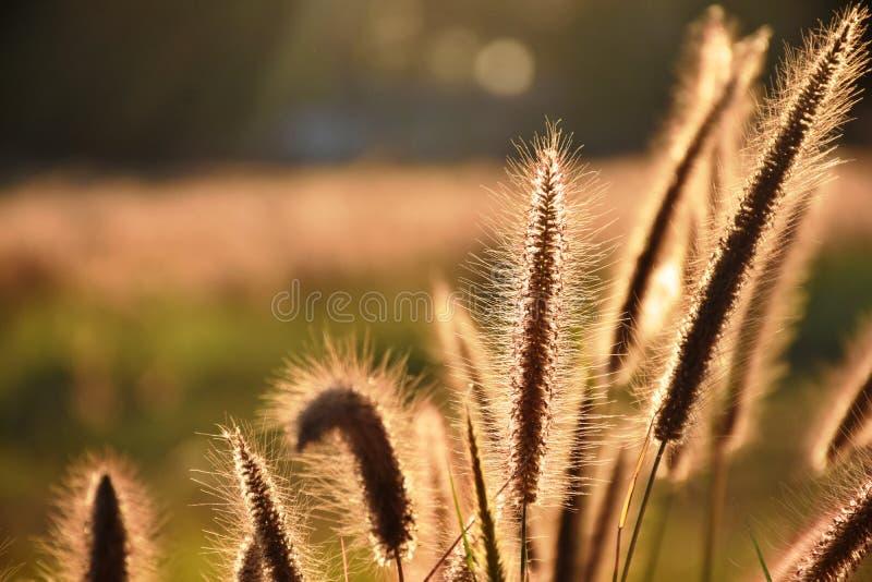 L'herbe communiste fleurit au soleil image stock