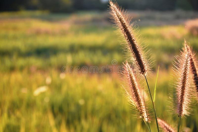L'herbe communiste fleurit au soleil photographie stock