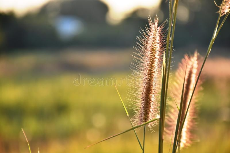 L'herbe communiste fleurit au soleil photos libres de droits