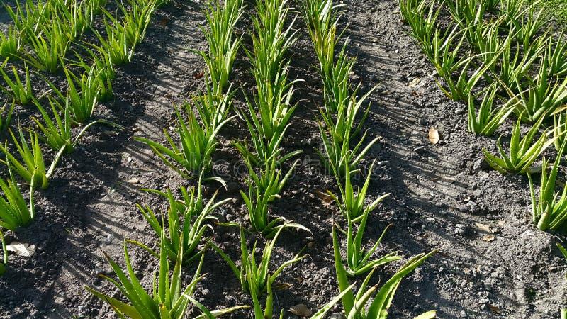 Download L'herbe D'Aloevera Sont Croissance Du Jardin Image stock - Image du tropical, aloès: 76086543