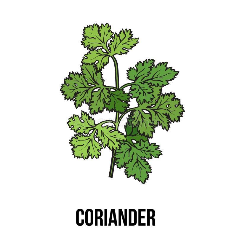 L'herbe de coriandre, cilantro, persil chinois part, illustration de vecteur de style de croquis illustration libre de droits