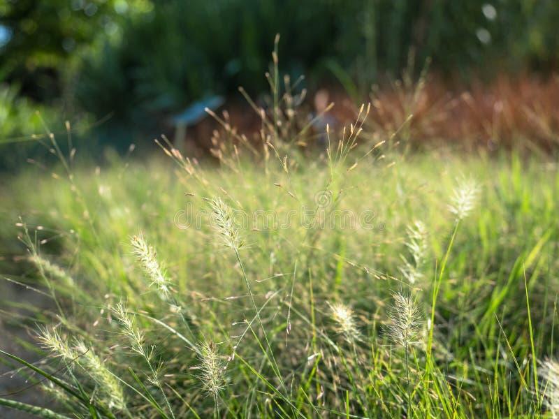 L'herbe de mission ou le polystachion de Pennisetum image libre de droits