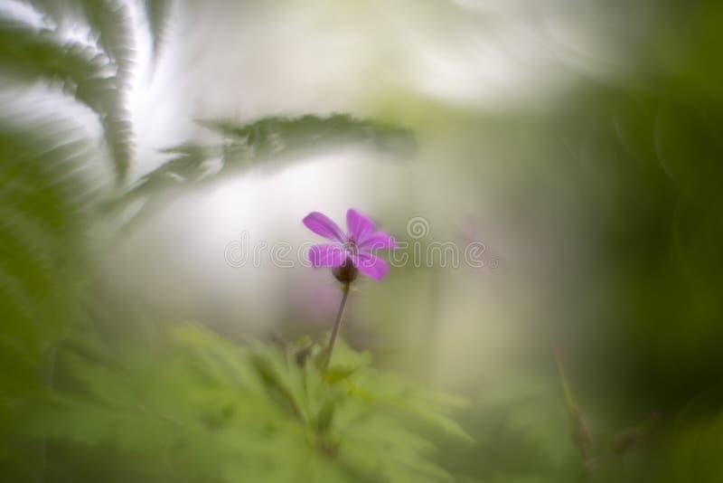 L'herbe de Robert - le géranium Robertianum a photographié avec une lentille modifiée petzval de cru photographie stock