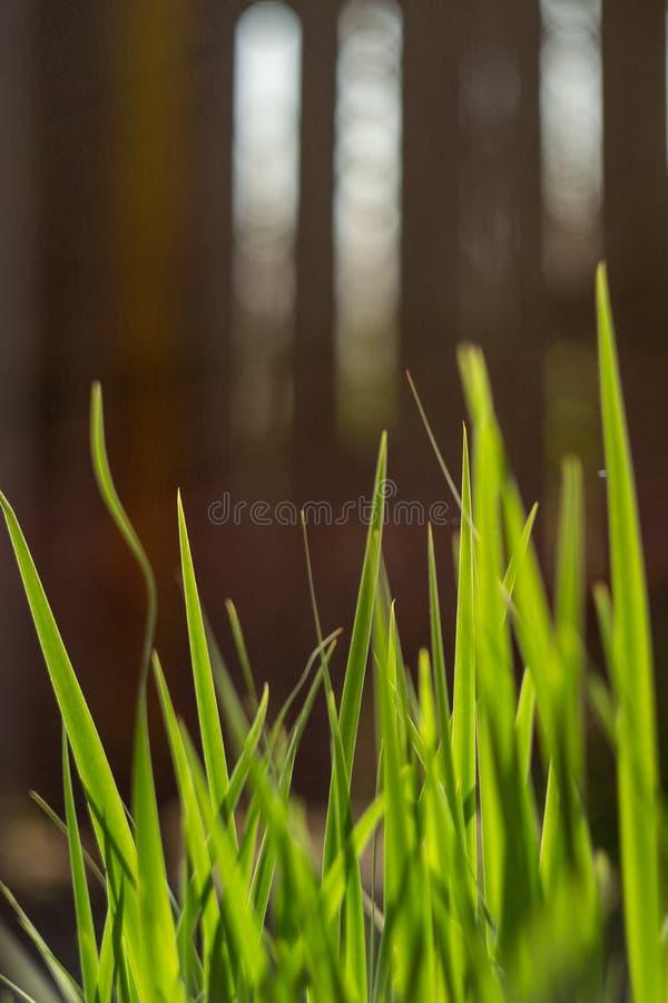 L'herbe est accentuée dans le soleil de matin Végétation vert clair image libre de droits