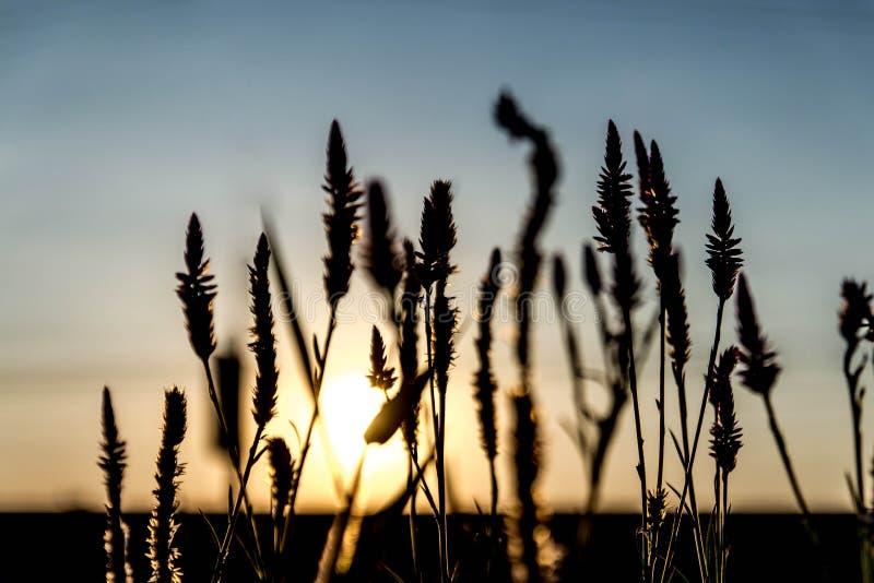 L'herbe fleurit le coucher du soleil rétro-éclairé. photos libres de droits