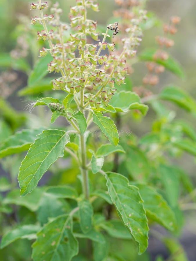 L'herbe fraîche de plan rapproché a appelé Thai Holy Basil (Ocimum photos stock