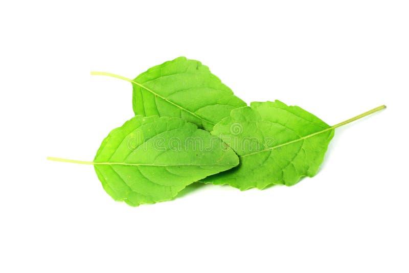 L'herbe indienne de tulsi médicinal ou de basilic saint part photo stock