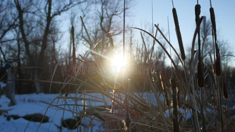 L'herbe sèche couvre de chaume dans l'éclat du soleil de nature d'hiver de neige de marais image libre de droits