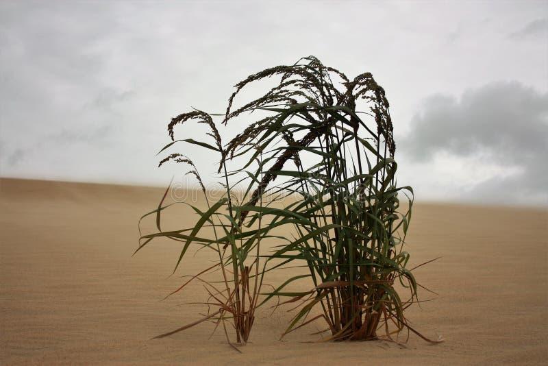 L'herbe s'élevant sur des dunes de sable souffle dans le vent photographie stock libre de droits