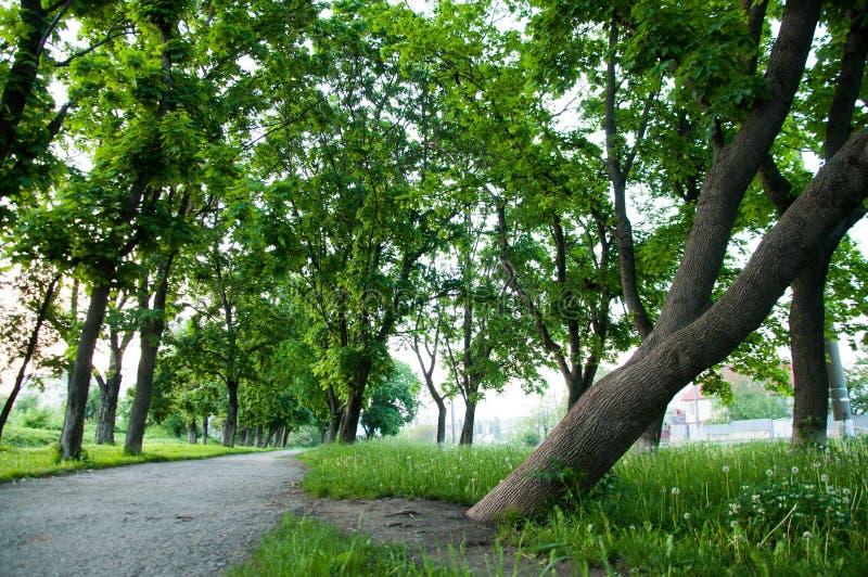 L'herbe vert clair épaisse de jour d'été se développe en parc Des deux côtés élevez les grands arbres verts photos libres de droits