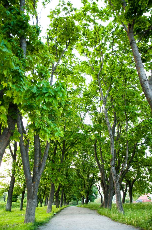 L'herbe vert clair épaisse de jour d'été se développe en parc Des deux côtés élevez les grands arbres verts photo stock