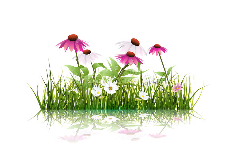 L'herbe verte et l'echinacea (coneflower pourpre) fleurissent, la marguerite blanche, wildflower avec la réflexion illustration stock