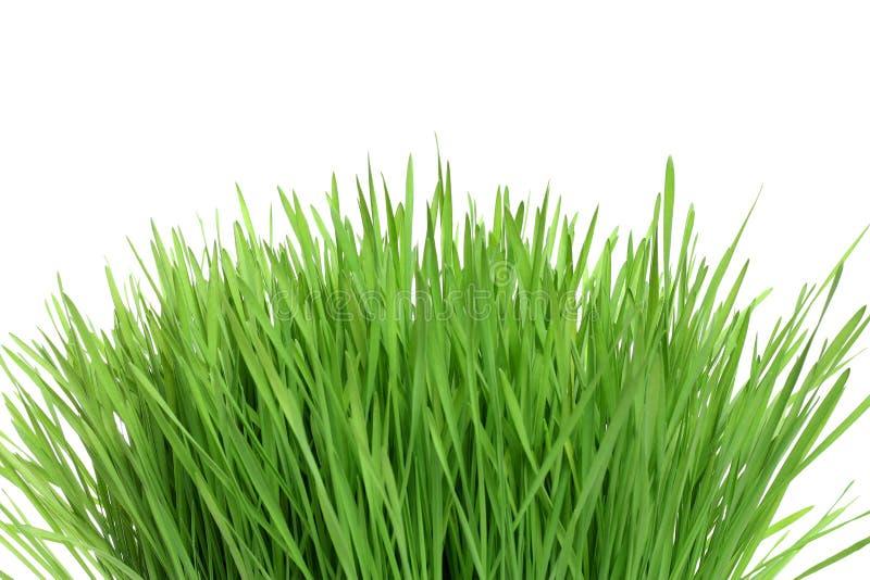 L'herbe verte a isolé photo libre de droits