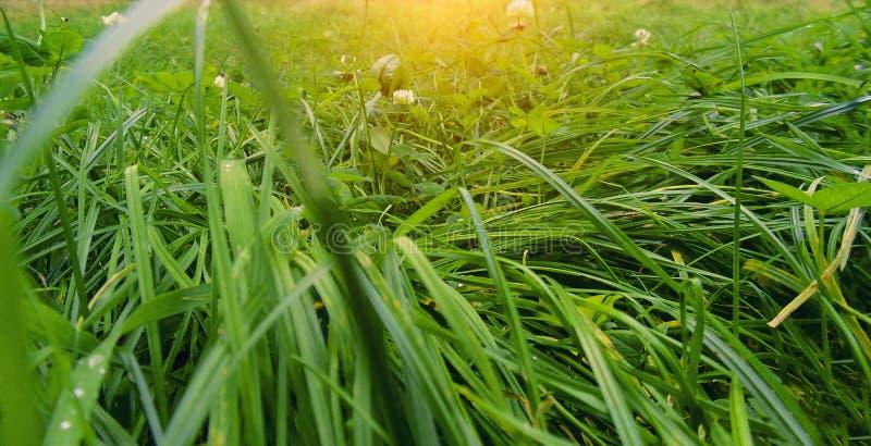 L'herbe verte, rosée, fond vert, ressort, été, juteux, couleurs, sentent l'herbe, fleurs, décoratives, imagination photos stock