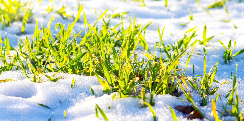 L'herbe verte sur laquelle la neige est tombée, un jour clair d'hiver pendant le thaw_ photo libre de droits