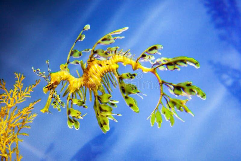 L'hippocampe fragile ressemble ? une mauvaise herbe image libre de droits