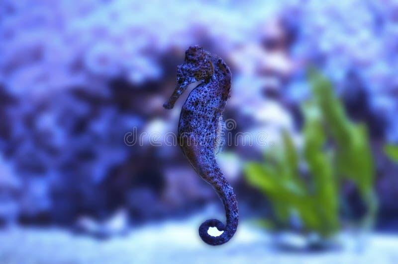 L'hippocampe magnifique flottant par une mer lucide claire photo stock
