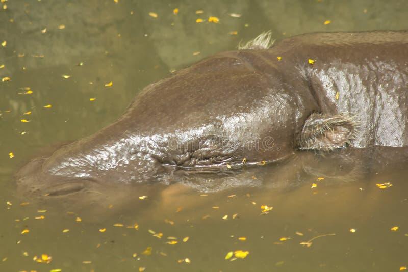 L'hippopotame pygméen est dans l'eau image libre de droits