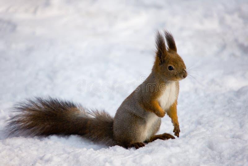 l'hiver d'écureuil photo stock