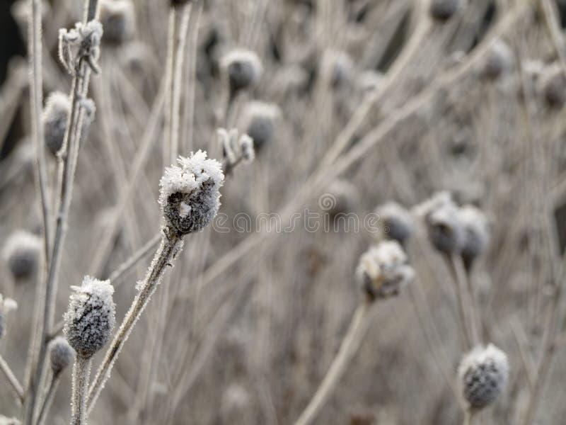 l'hiver de centrale givré par fleur de bourgeon photographie stock
