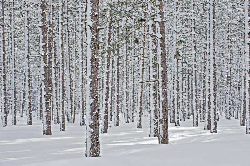 l'hiver de pin de forêt images libres de droits
