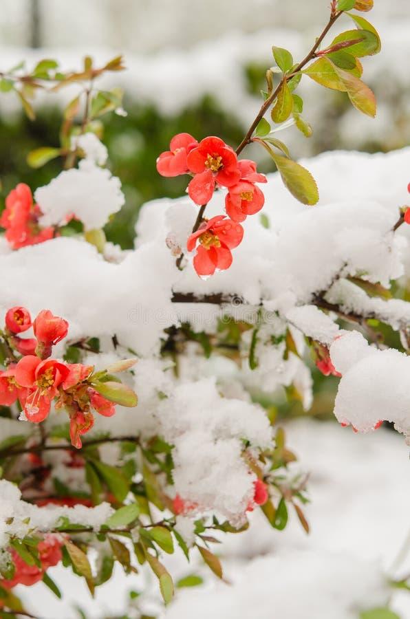 L'hiver est de retour coing photographie stock