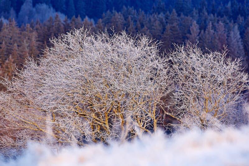 L'hiver froid avec la neige Arbre deux solitaire en hiver, paysage neigeux avec la neige et brouillard, forêt blanche à l'arrière photo stock